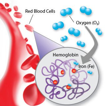 hemoglobin-s1-what-is-hemoglobin